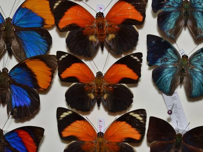 """Ausschnitt eines Schmetterlingsinventariums mit """"Agrias claudina"""" und """"Memphis"""" Edelfaltern, Zentralamazonien. Foto: Dr. Hubert Höfer"""